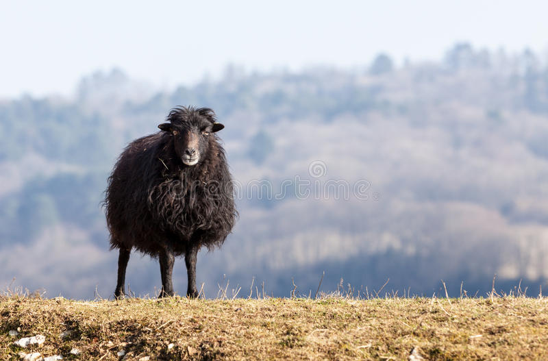 Black Domestic Sheep. Portrait of a black domestic sheep Ouessant,which is the smallest sheep in the world, adapted to live in windy areas royalty free stock photos