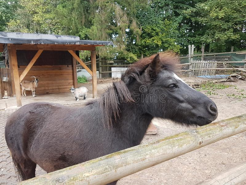 Black Donkey at Heusenstamm in Germany. Black Donkey in the farm royalty free stock images