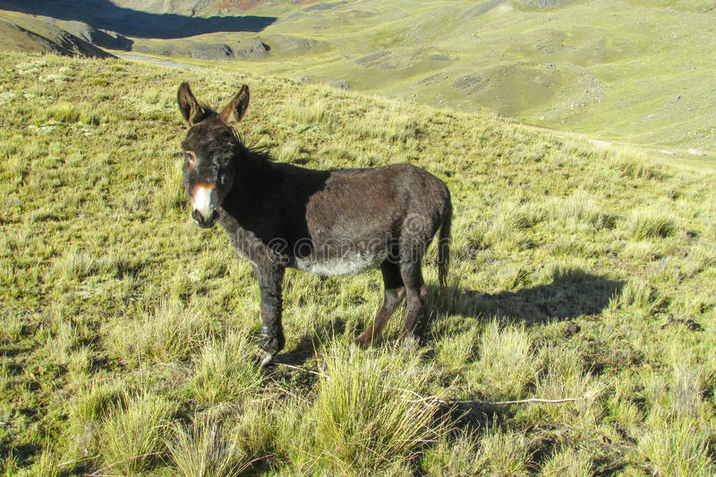 Black donkey in the mountains. Standing and eating grass stock photography