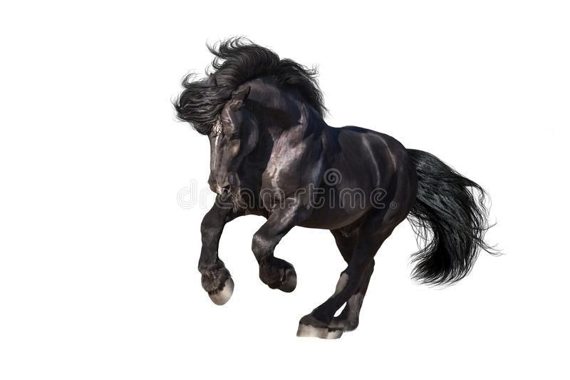 Black draft horse galloping isolated. Beautiful black draft stallion galloping isolated on white background stock photos