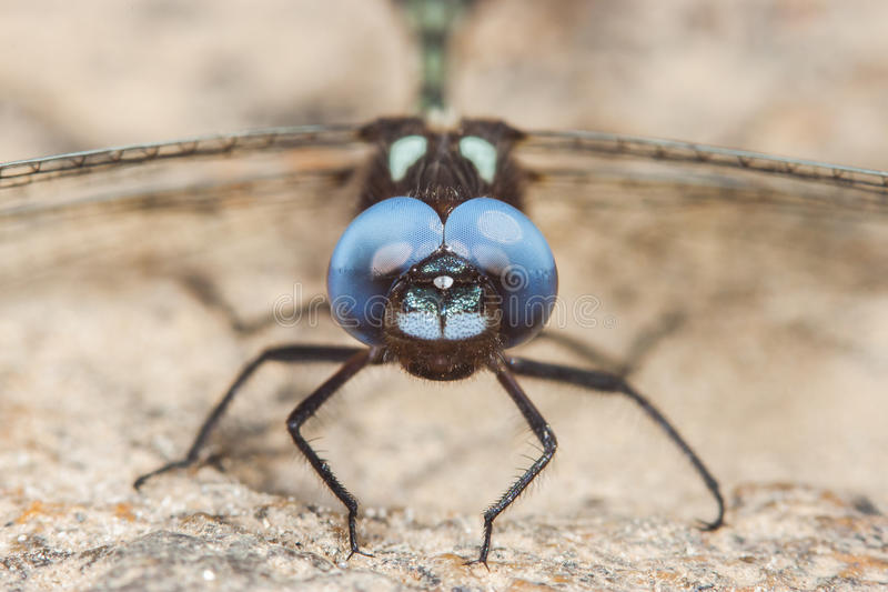 black dragonfly with blue eyes royalty free stock photography
