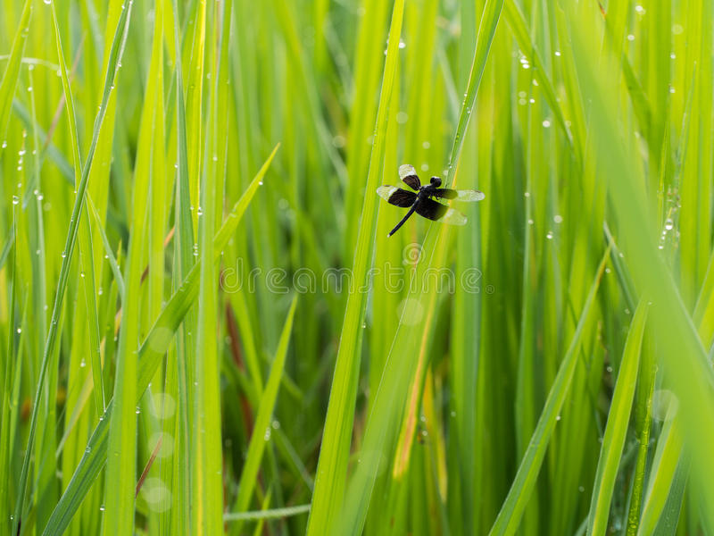 Black Dragonfly perched on Rice. Field After Rain royalty free stock image