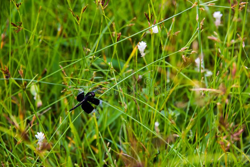 Black Dragonfly sitting on Cyperus rotundus. In morning time stock photo