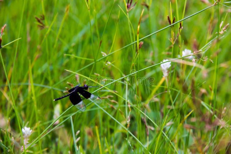Black Dragonfly sitting on Cyperus rotundus royalty free stock image