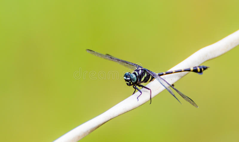 Black Dragonfly. In the wild tropics royalty free stock images