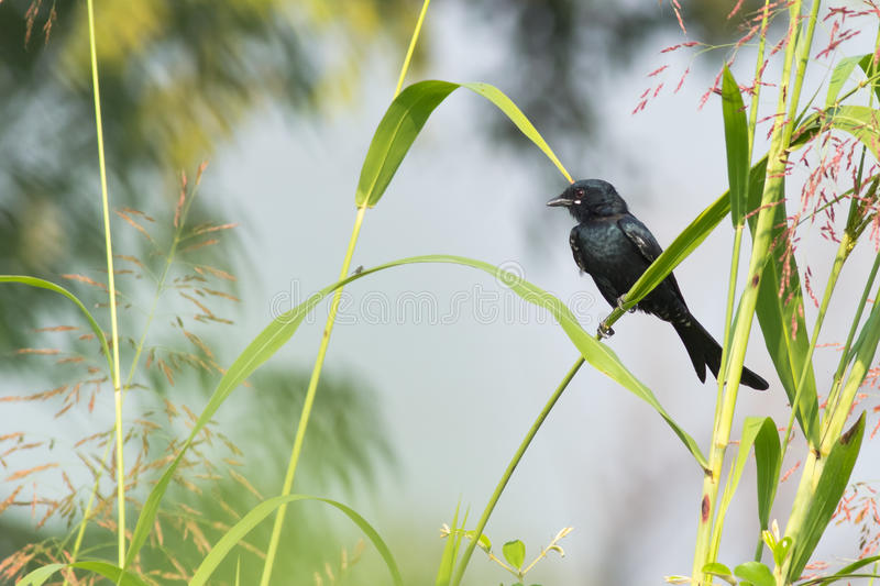 Black Drongo Bird. Resting on a perch royalty free stock images