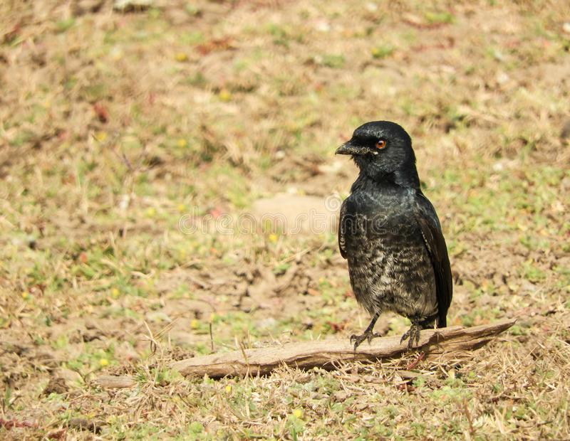 Black Drongo Dicrurus macrocercus spotted in Pench National Park, India royalty free stock photos