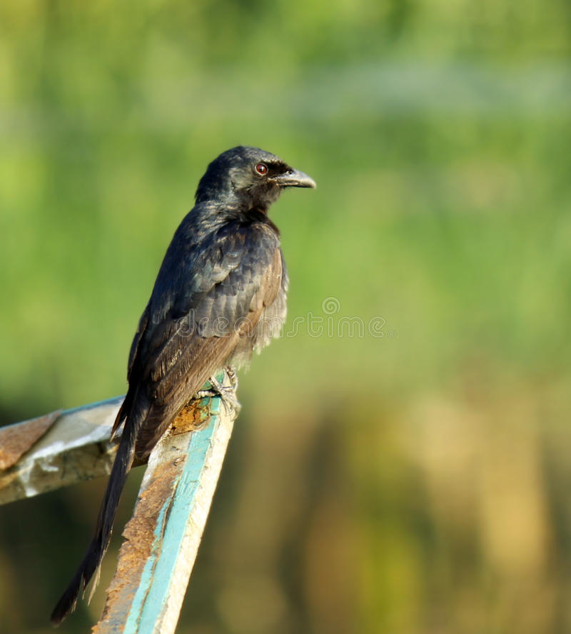 Download Black drongo stock image. Image of birding, beak, bird - 39510159