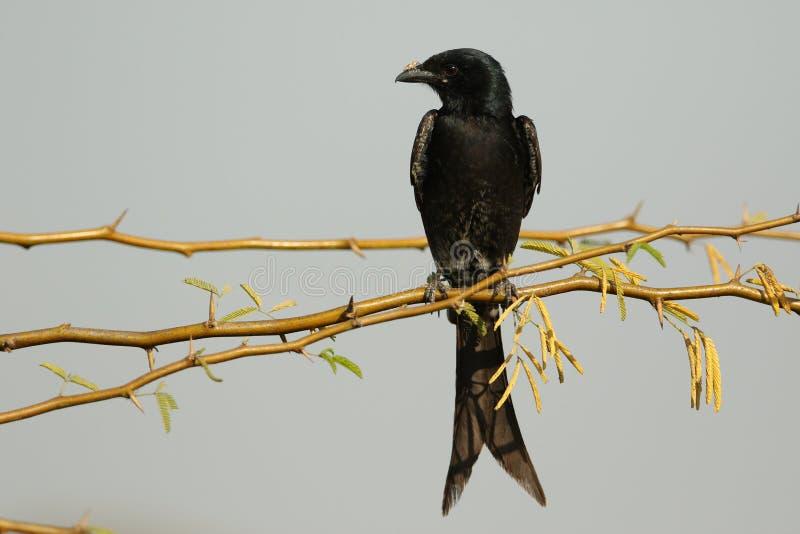black drongoen arkivfoto