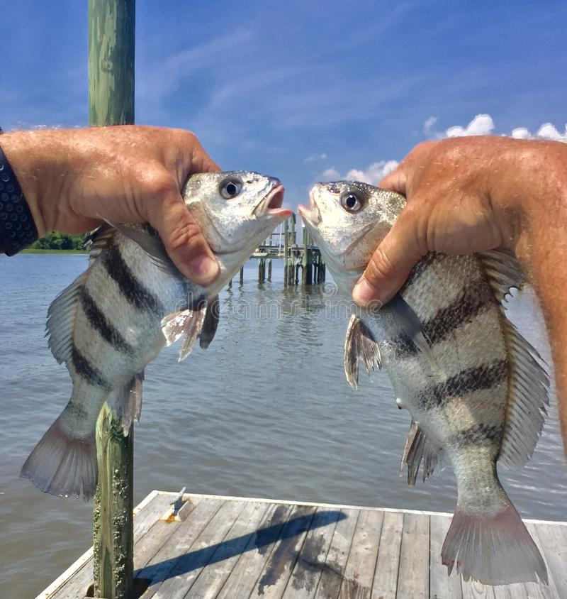 Black Drum. Two small black drum fish held up for a selfie showing there stripes and eyes against blue Carolina skies. Wildlife nature fishing vacation dock royalty free stock photos