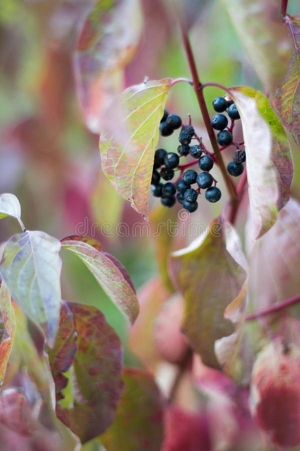 Black dry berries on a background of withered leaves of wild grapes, selective focus royalty free stock image