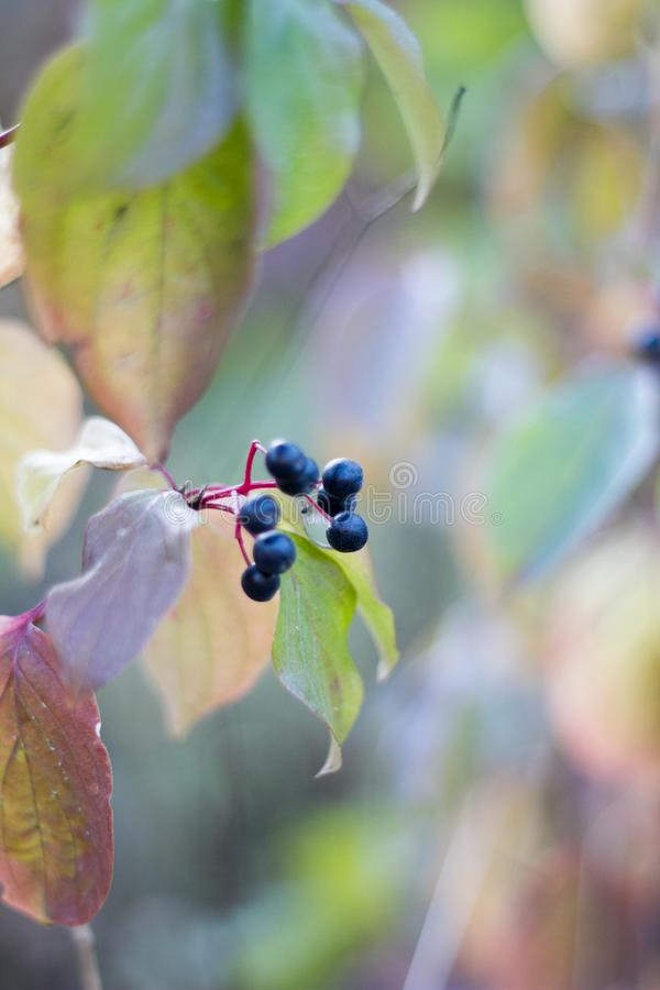 Black dry berries on a background of withered leaves of wild grapes, selective focus stock photos