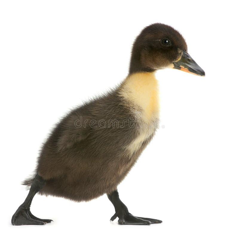 Free Black Duck Stock Image - 26066561