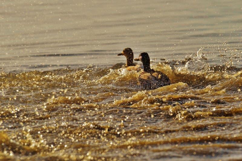 Black Duck Free Public Domain Cc0 Image
