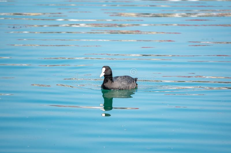 Black duck Eurasian coot Fulica atra is swimming in blue water stock photo