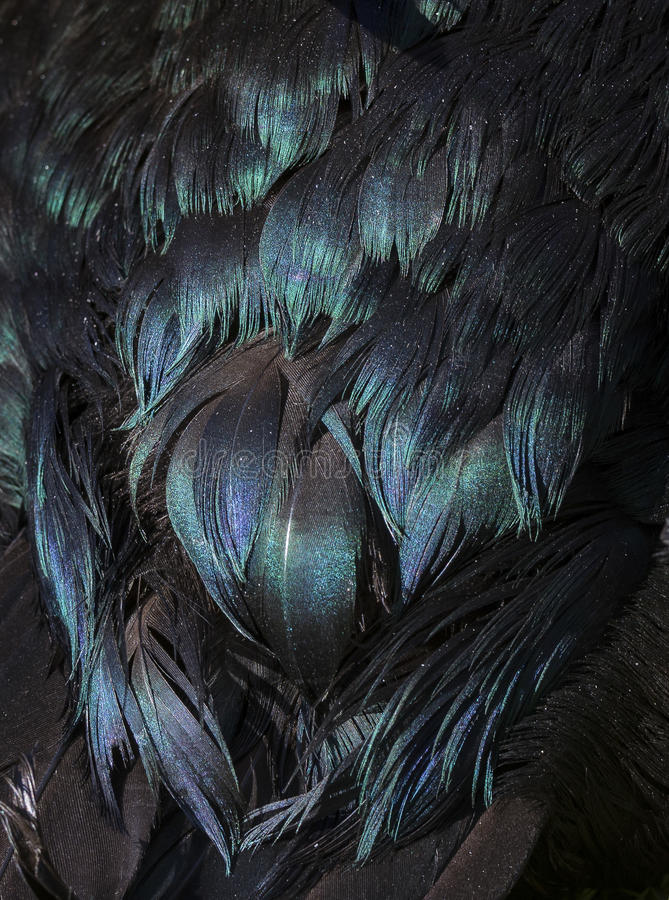 Black duck feathers with purple, green and blue iridescence. stock images