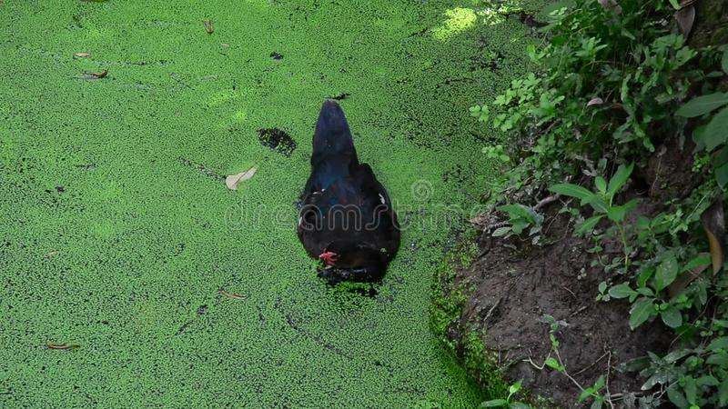 Black Duck Swimming On The Pond Stock Footage - Video of