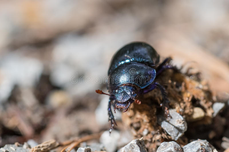 Black dung beetle. (Geotrupes stercorarius) is crawling on gravels stock image