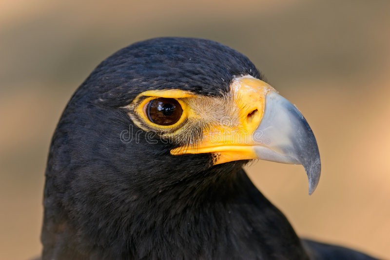 Download Black eagle stock photo. Image of verreauxii, portrait - 1023736