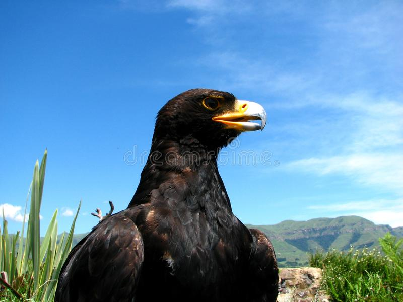 Black eagle stock photo