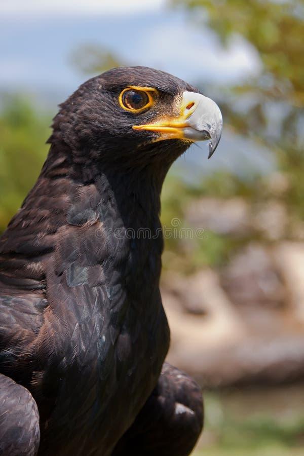 Black eagle royalty free stock image