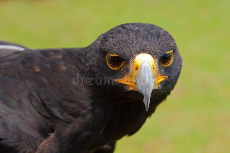 Download Black eagle stock image. Image of avian, nature, horizontal - 22453087