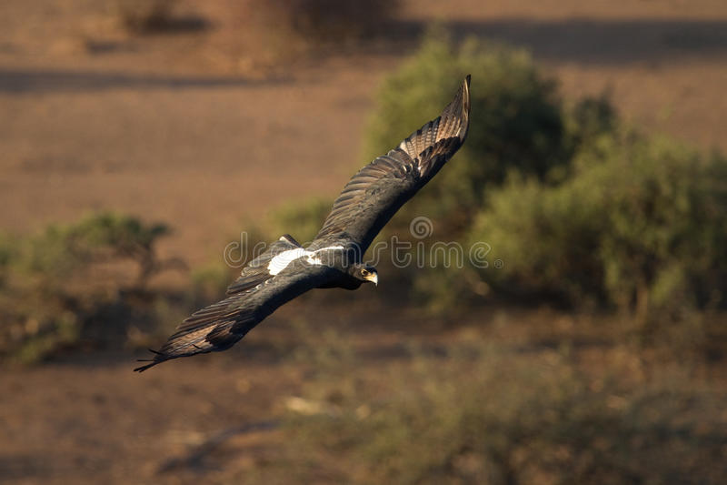 Black eagle flying royalty free stock photo