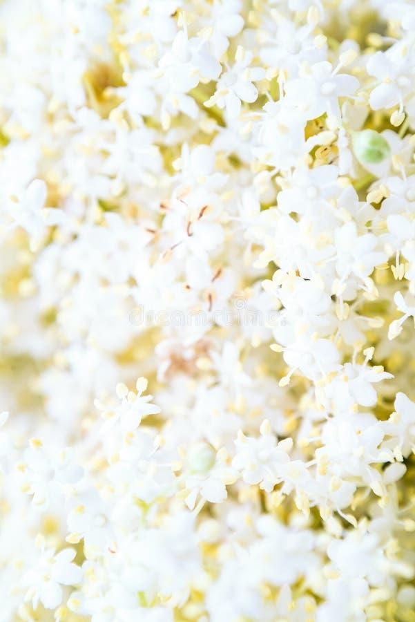 Black elder elderberry bloom blossom close-up floral flower background royalty free stock photos