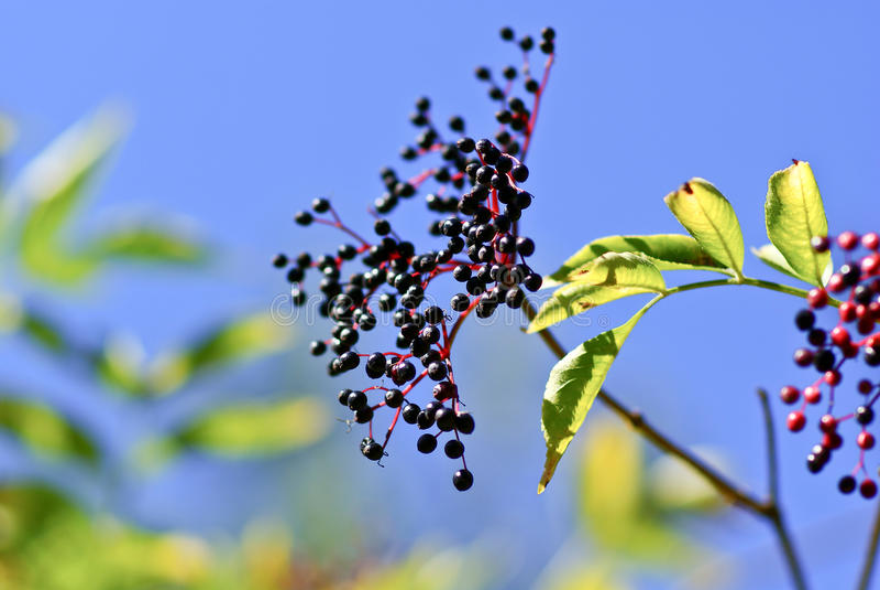 black elderberry stock images