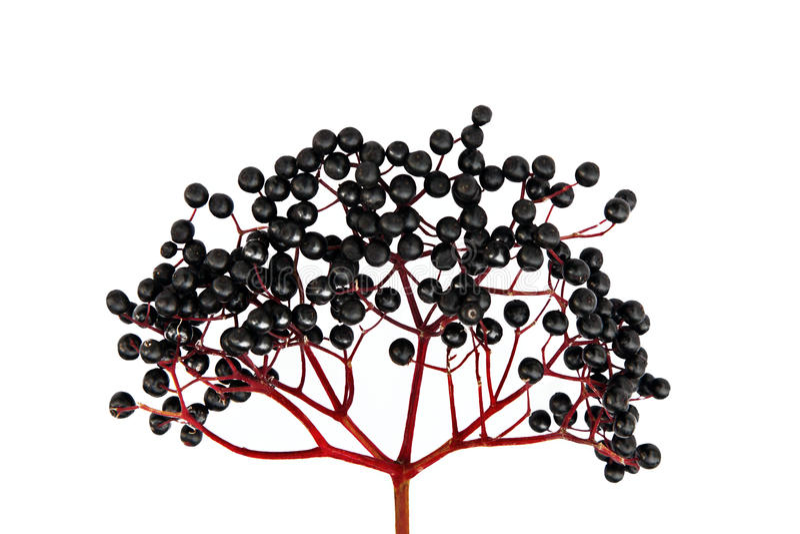 Black Elderberry isolated stock photography