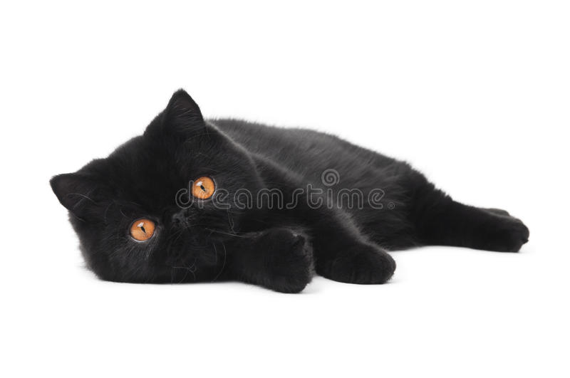 Black exotic shorthair kitty cat royalty free stock images
