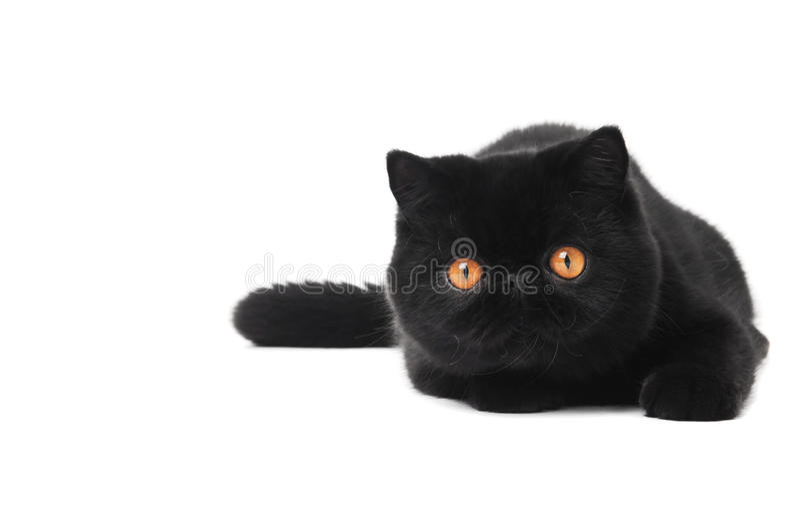 Black exotic shorthair kitty cat. One lying black exotic shorthair kitten cat isolated on white royalty free stock photos
