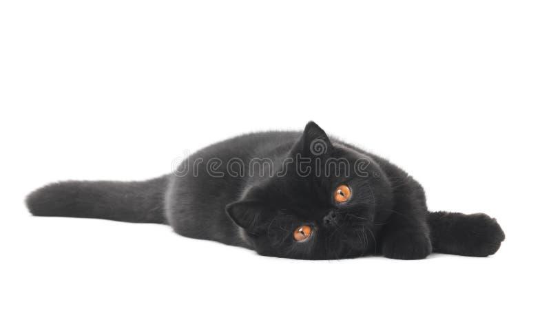 Black exotic shorthair kitty cat. One lying black exotic shorthair kitten cat isolated on white stock photography