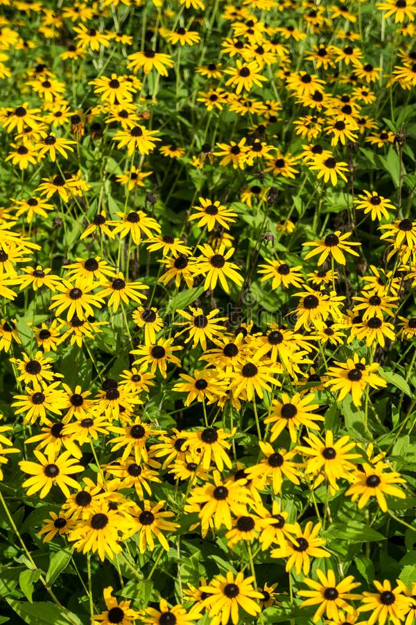 Black-eyed Susan – Rudbeckia hirta. A large group of Black-eyed Susan wildflower located in a mountain meadow ideal for background use stock photos