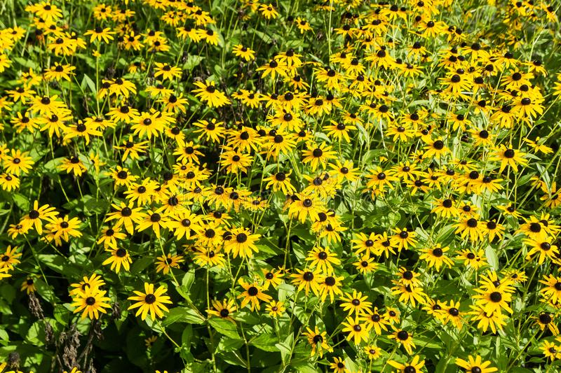 Black-eyed Susan – Rudbeckia hirta - 2. A large group of Black-eyed Susan wildflower located in a mountain meadow ideal for background use stock photo