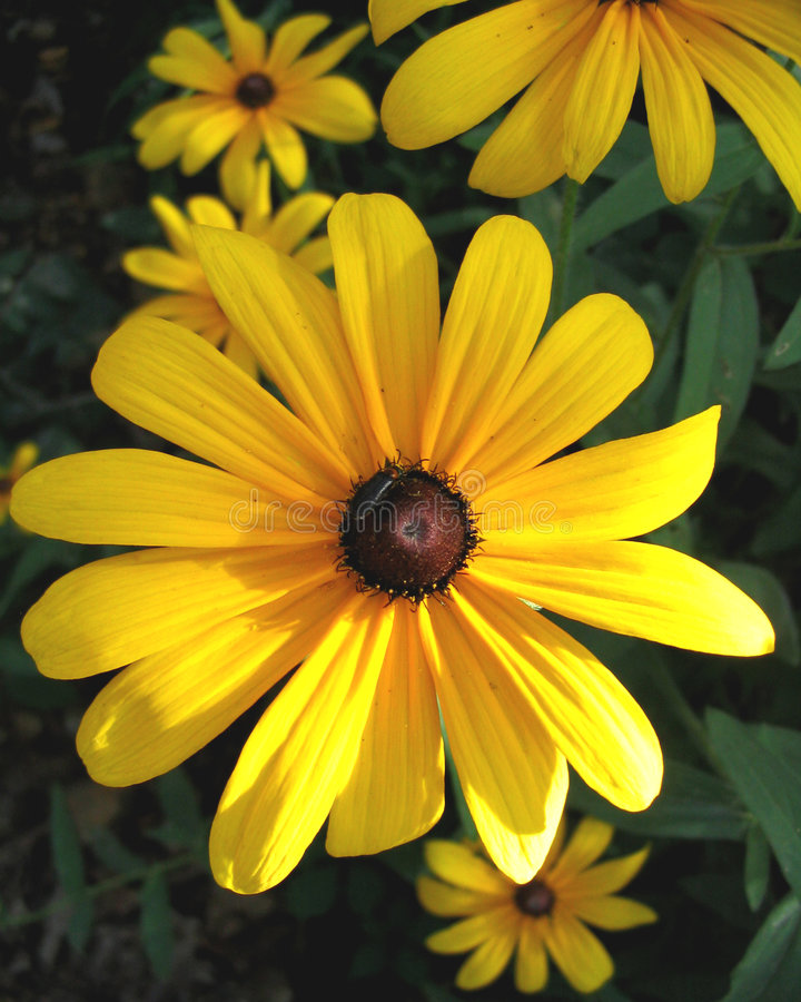 Download Black-Eyed Susan Royalty Free Stock Photography - Image: 6487