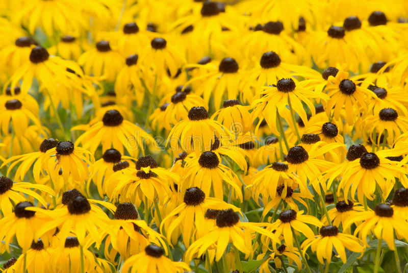 Black Eyed Susan. A full frame of black eyed Susans. Shallow depth of field with focus on flowers in the middle of the frame royalty free stock photography