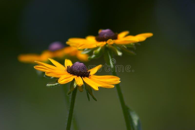 Black-Eyed Susan. Taken at the Schulenberg Prairie of Morton Arboretum, Lisle, Illinois royalty free stock photos