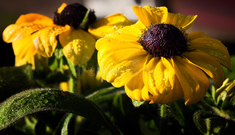 Download Black Eyed Susan stock image. Image of nature, leaves - 25432153