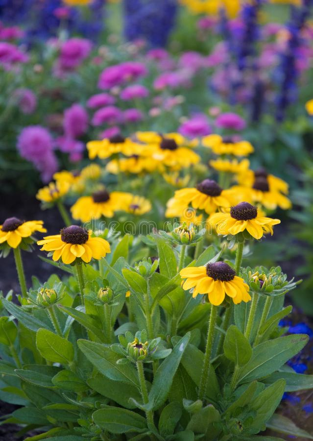 Black eyed Susan in the bed. Flower beds in the city add pretty colours  to a what can be a drab landscape stock photo