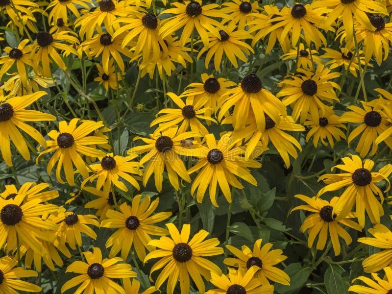 Black-Eyed Susan. Flowers summer background royalty free stock photos