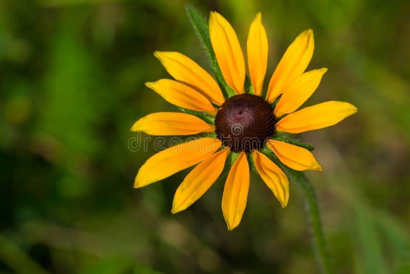 Black-eyed Susan - Rudbeckia hirta stock photography