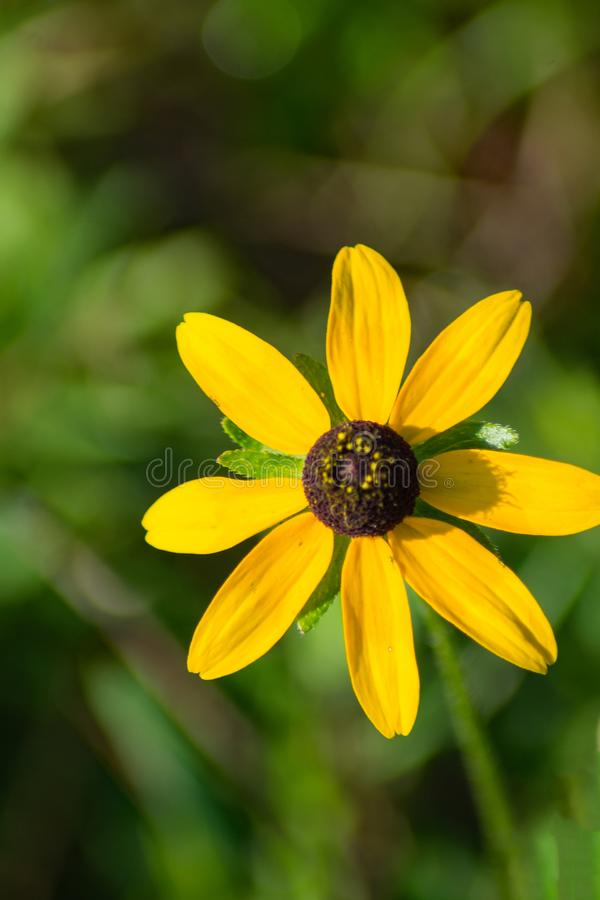 Black-eyed Susan, Wildflower. Black-eyed Susan, a daisy like flower with showy golden yellow rays surrounding a brown cone shaped central disk royalty free stock images