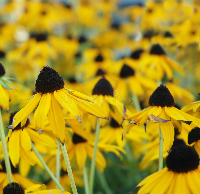 Black-Eyed Susan field royalty free stock photos