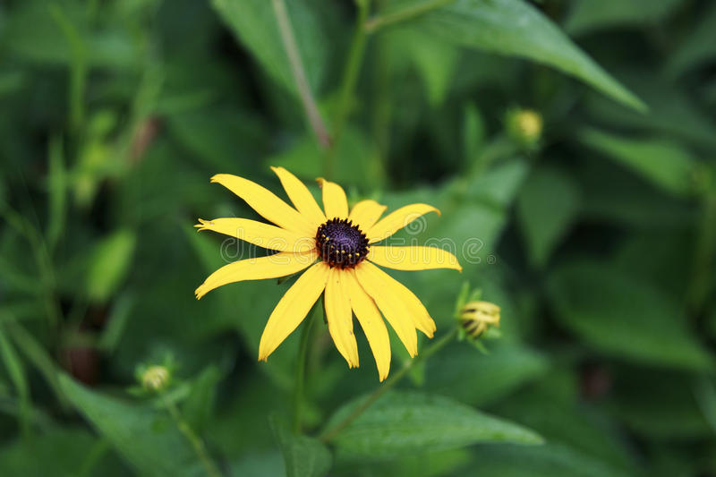 Black-eyed susan flower in the garden stock photography