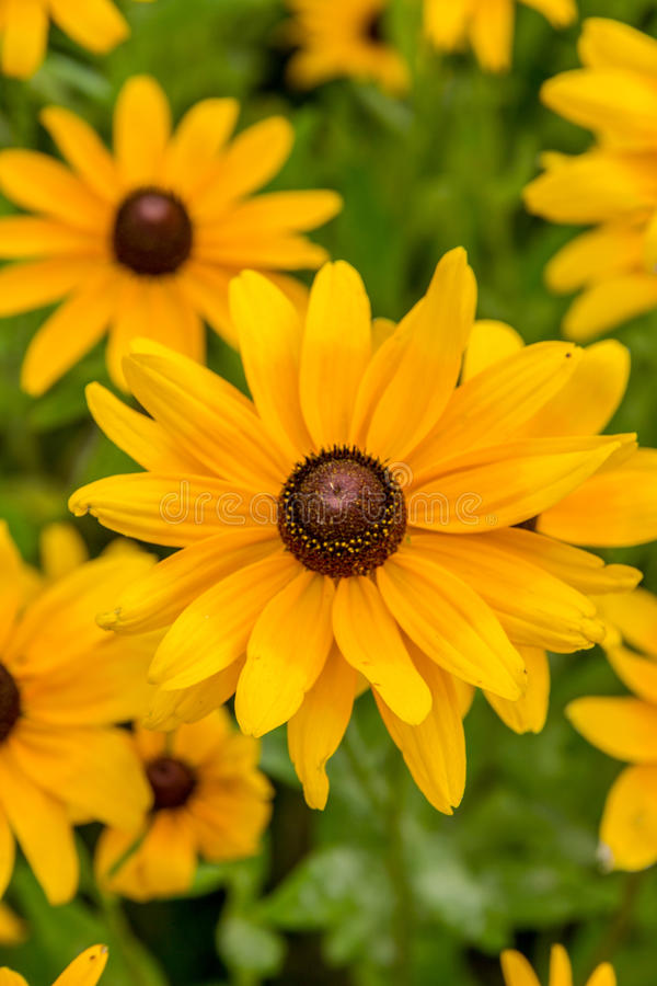 Black-Eyed-Susan flower. Images taken of an early summer field of the wild Black-Eyed-Susan flowers found in Downingtown, Cheser County PA stock photos