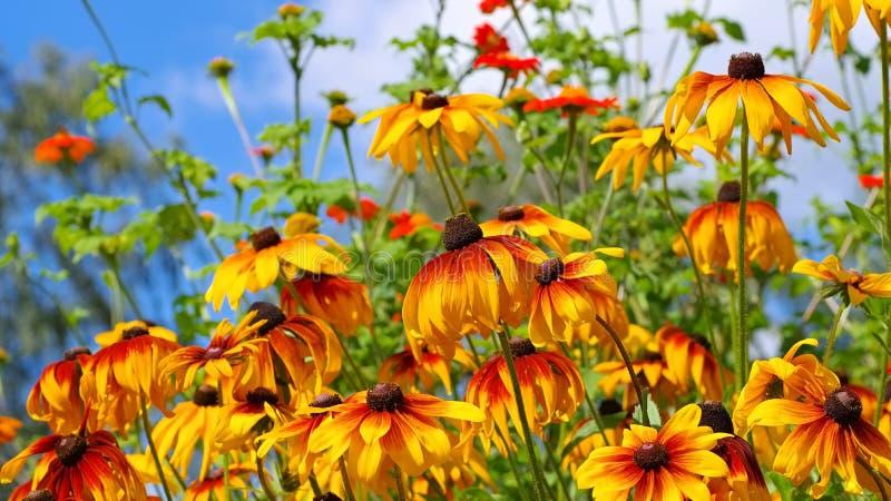 Black-eyed Susan flower stock image