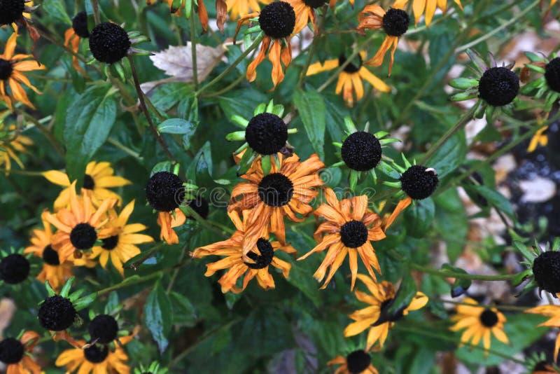 Black eyed Susan flowers. Fall weathered yellow petal black eyed Susan flower stock images