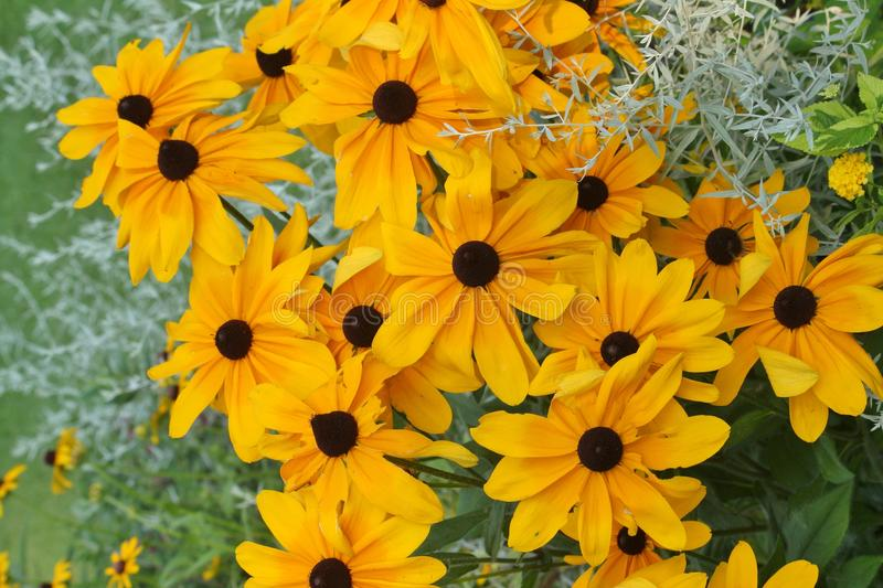 Black eyed Susan flowers growing in a garden stock image
