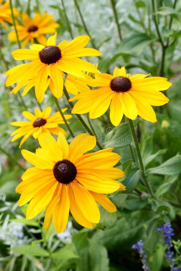 Black eyed Susan flowers growing in a garden royalty free stock photo